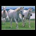 111201130591361-horses-Jigsaw-Puzzle