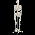 13720102334A3BS_Standard_anatomical_Human_skeleton_Model