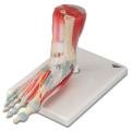 27720105938A3BS_Foot_Skeleton_with_Ligaments_and_Muscles_Model