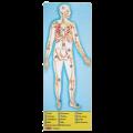 211220101314445-human-anatomy